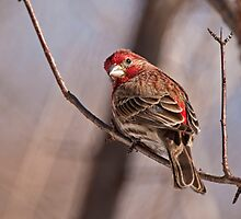 Male House Finch by Michael Cummings