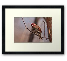 Male House Finch Framed Print