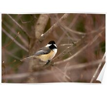Blacked capped chicadee Poster