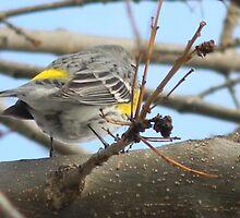 Warbler's Distinguishing Markings by Navigator