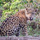 Female jaguar cub by Linda Sparks