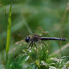 Charcoal dragonfly sunning by Ben Waggoner