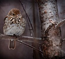 Hermit Thrush by Michael Cummings