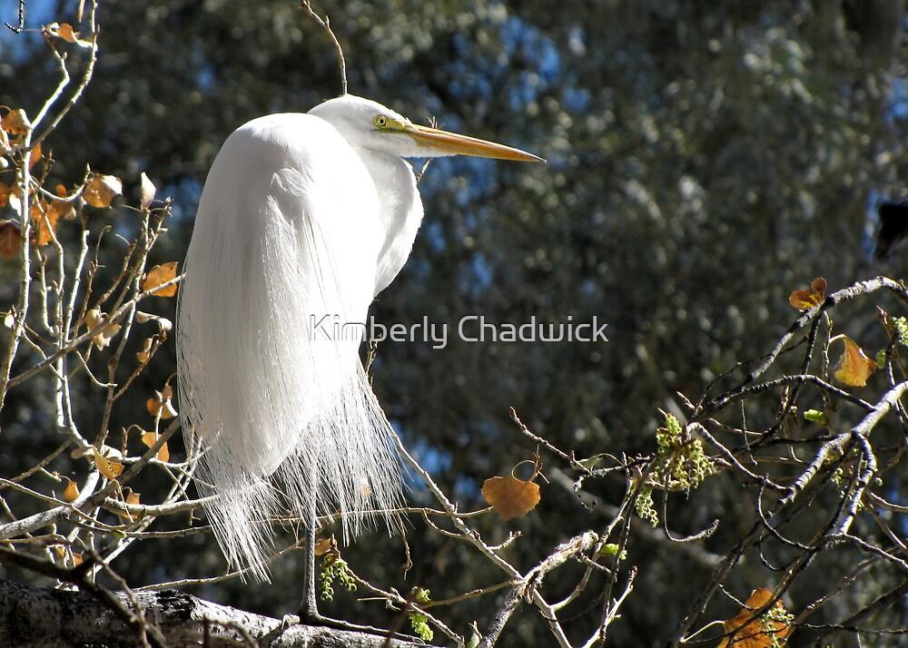 Great White Egret  by Kimberly Chadwick