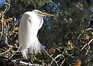 Great White Egret  by Kimberly Chadwick