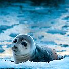 Seal at Peggy's Cove by Roxane Bay