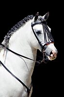 Andalusian Stallion by laurasonja