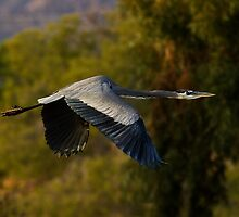 120510 Great Blue Heron by Marvin Collins