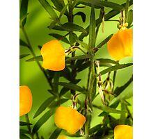 Australian yellow spade flowers Photographic Print