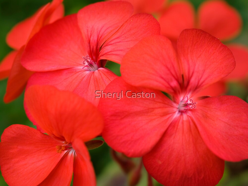 """""""red geranium flowers close up"""" by thelense 
