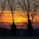 Sunrise through pollarded poplar trees by Christopher Cullen