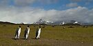 King Penguins marching by Coreena Vieth
