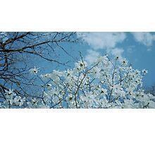 Springtime Magnolias Photographic Print