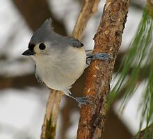 I Got My Eye On You (Tufted Titmouse) by Robert Miesner