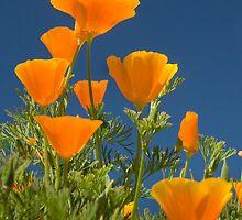 California Poppy - Eschscholzia californica by Shelagh Bidwell