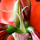 Amaryllis  by patti4glory