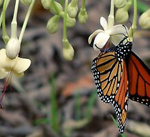 Monarch on a butterfly bush by Ben Waggoner