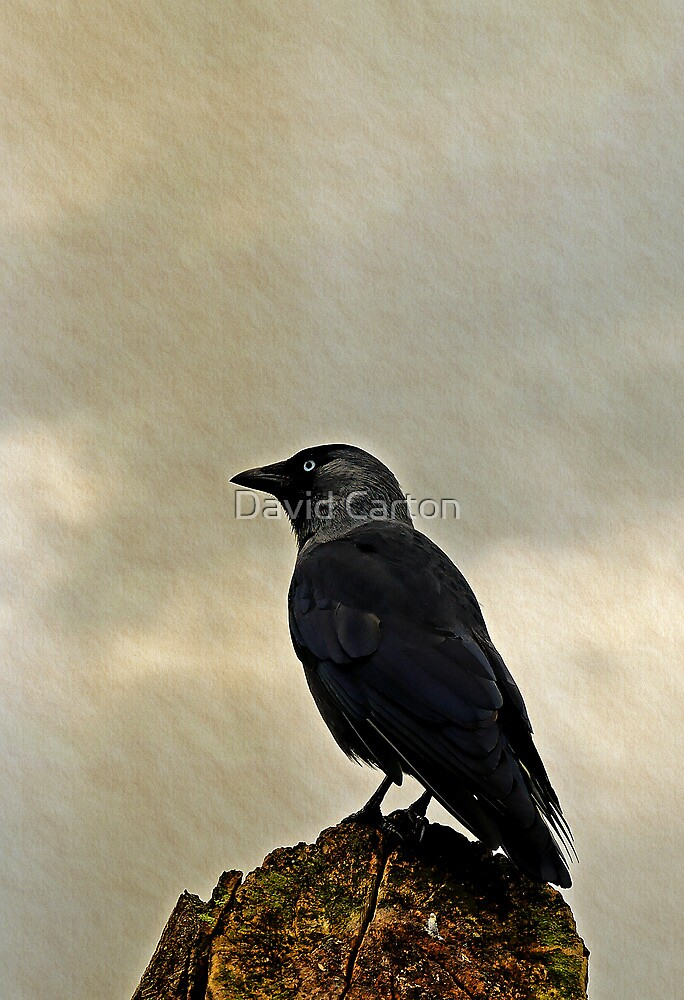 Jackdaw  (Corvus monedula) by buttonpresser
