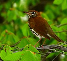 Treasure of the Forest (Wood Thrush)  by Robert Miesner