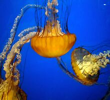 Jelly Fish by Rae Breaux