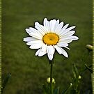 Sign of Spring Daisy in Bloom by ╰⊰✿ℒᵒᶹᵉ Bonita✿⊱╮ Lalonde✿⊱╮