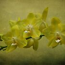 Yellow Orchids by Sandy Keeton
