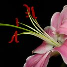 Lily Stamens  by Erin Fitzgibbon