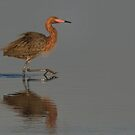The Reddish Egret by Kathy Cline