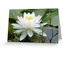 White Water Lily (Nymphaeaceae) Greeting Card