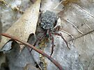 Wolf Spider (Lycosidae) with Egg Sack and Spiderlings by MotherNature