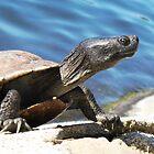Turtle in Echo park LA by loiteke