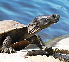 Turtle in Echo park LA by loiteke