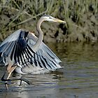 Great Blue Heron Taking Off by Joe Jennelle