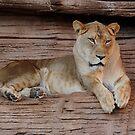 Female Lion by Joe Jennelle