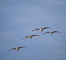 White Ibis Flight Formation by Joe Jennelle