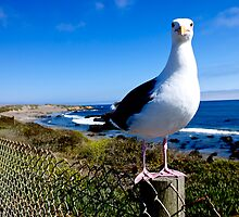 Staring Seagull by Peter Klemek
