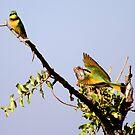 Bee-Eater by Skyjuggler