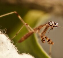 little baby mantis by kevin chippindall
