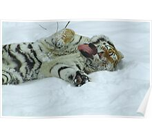 Ahh!  Now That Feels Good (Amur Tiger) Poster