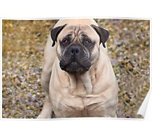 Say Hello To Foster - Bullmastiff Poster