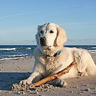 My Golden Retriever Ditte at the beach by Trine