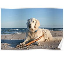 My Golden Retriever Ditte at the beach Poster