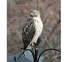 Regal Red Tail Hawk Photographic Print
