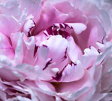 Peony in bloom by Steven Valkenberg