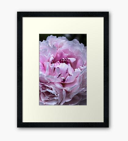 Peony in bloom Framed Print