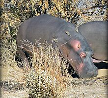 Hippo with oxpeckers by almaalice