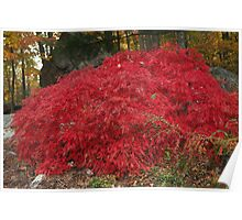 Burning Bush in the Fall Poster