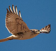 010711 Ferruginous Hawk by Marvin Collins