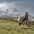 Hebrides, Wild Pony by Tim Collier