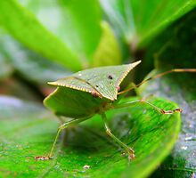 Loxa Flavicollis (Stink Bug) by Pandrot